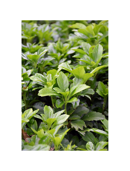 GARTENKRONE Schattengrün, Pachysandra terminalis »Compacta«, weiß, winterhart