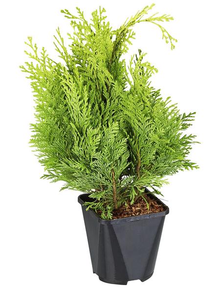 GARTENKRONE Scheinzypresse, Chamaecyparis lawsoniana »Alumigold«, winterhart