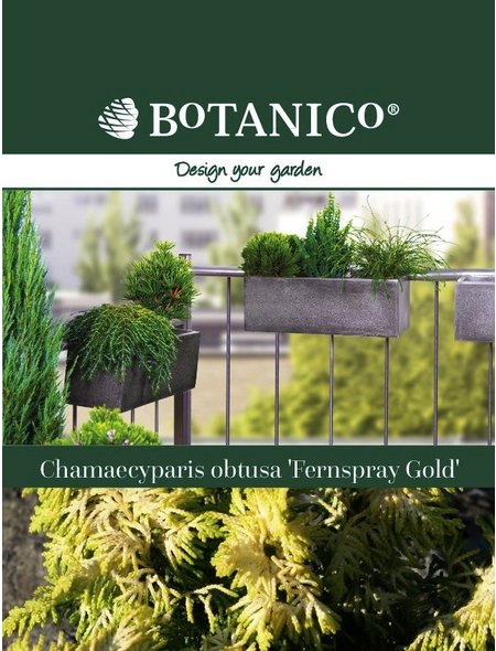 Scheinzypresse Chamaecyparis obtusa »Fernspray Gold«