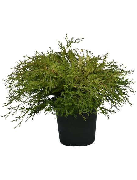 Scheinzypresse obtusa Chamaecyparis »Kamarachiba«