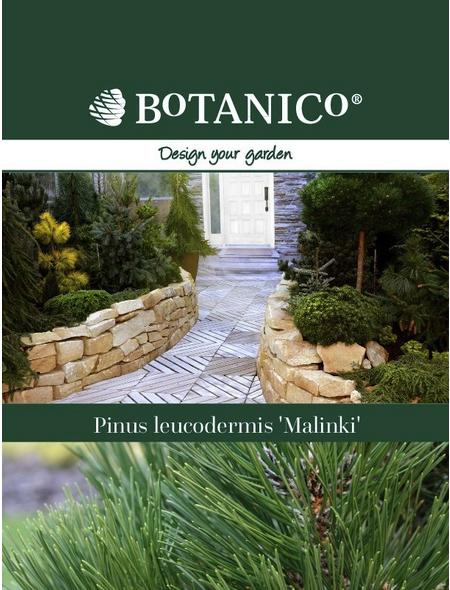 Schlangenhaut-Kiefer leucodermis Pinus »Malinki«
