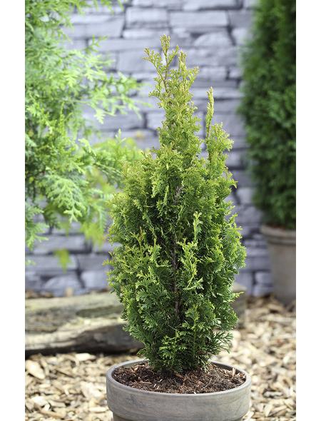 Schmaler Säulenlebensbaum, Thuja occidentalis »Degroot Spire«, Lieferhöhe: 20 - 25 cm