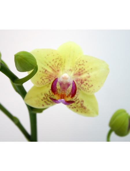 Schmetterlingsorchidee, hybride Phalaenopsis, Blüte: gelb, mit 2 Rispen