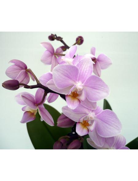 Schmetterlingsorchidee, hybride Phalaenopsis, Blüte: rosa, mit 2 Rispen