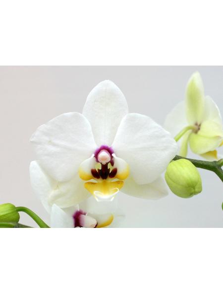 Schmetterlingsorchidee, hybride Phalaenopsis, Blüte: weiß/lila, mit 2 Rispen