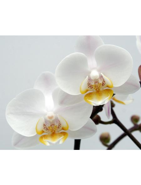 Schmetterlingsorchidee, hybride Phalaenopsis, Blüte: weiß, mit 2 Rispen