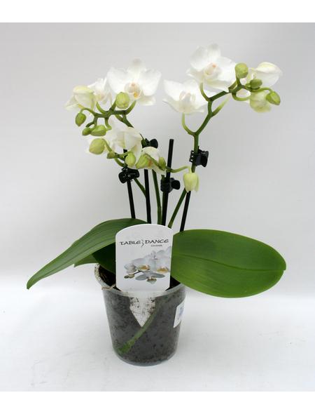 Schmetterlingsorchidee, hybride Phalaenopsis, Blüte: weiß, mit 3 Rispen