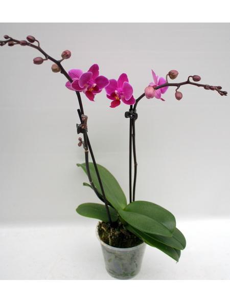 Schmetterlingsorchidee, hybride Phalaenopsis, Blüte: zweifarbig, mit 2 Rispen