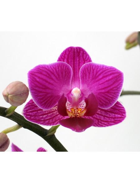 Schmetterlingsorchidee, hybride Phalaenopsis, Blüte: zweifarbig, mit 3 Rispen
