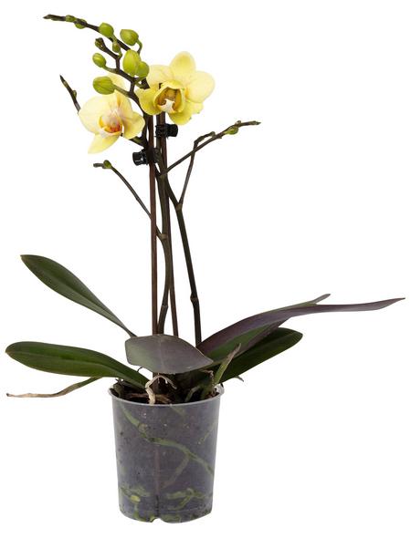 Schmetterlingsorchidee, Phalaenopsis, Blüte: gelb, mit 2 Trieben