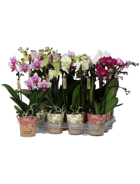Schmetterlingsorchidee, Phalaenopsis, Blüte: gemischt