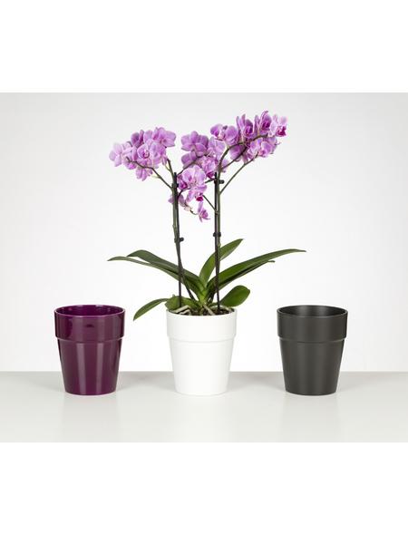 Schmetterlingsorchidee, Phalaenopsis, Blüte: mehrfarbig, mit 2 Trieben