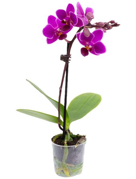 Schmetterlingsorchidee Phalaenopsis , Blüte: violett, mit 1 Trieb