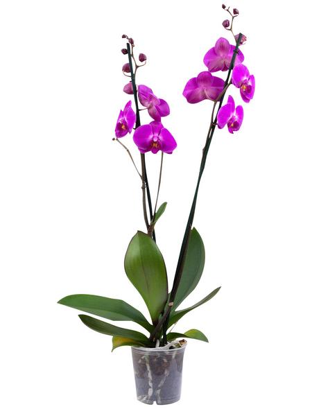 Schmetterlingsorchidee, Phalaenopsis, Blüte: violett, mit 2 Trieben