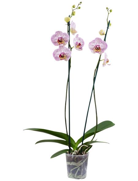 Schmetterlingsorchidee Phalaenopsis , Blüte: zweifarbig, mit 10+ Blüten