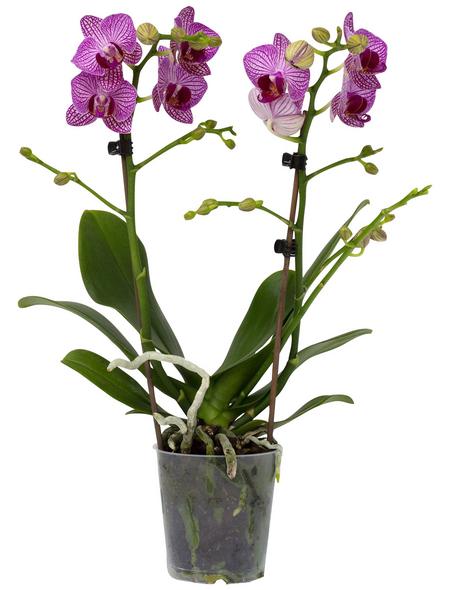 Schmetterlingsorchidee Phalaenopsis , Blüte: zweifarbig, mit 2 Trieben
