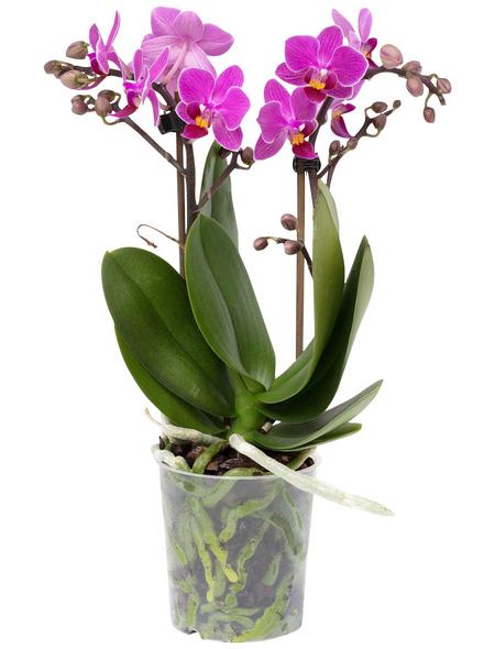 Schmetterlingsorchidee, Phalaenopsis, Blüte: zweifarbig, mit 2 Trieben