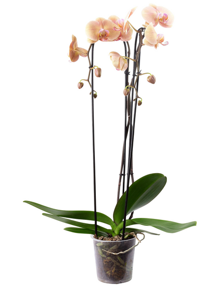 Schmetterlingsorchidee, Phalaenopsis Cascade, Blüte: orange, mit 2 Trieben