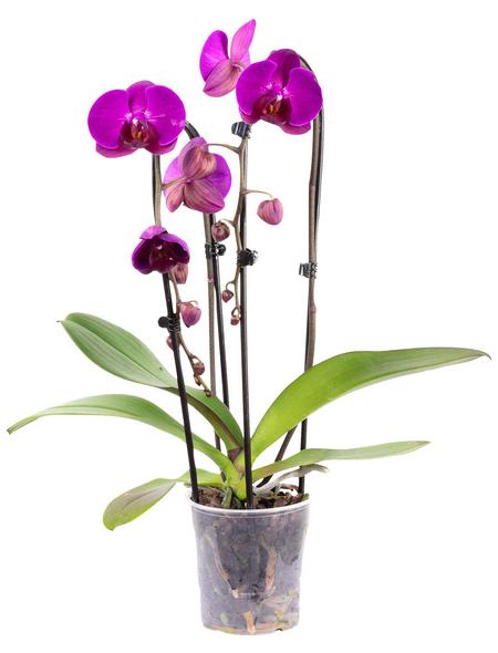 Schmetterlingsorchidee, Phalaenopsis Cascade, Blüte: violett, mit 2 Trieben