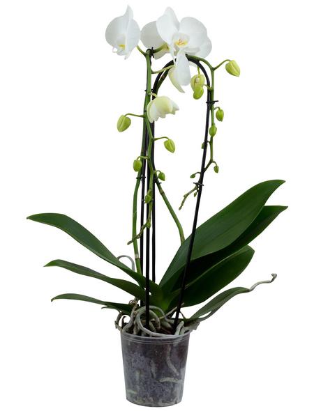 Schmetterlingsorchidee Phalaenopsis Cascade, Blüte: weiß, mit 2 Trieben