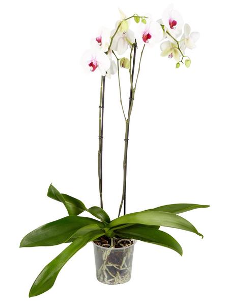 GARTENKRONE Schmetterlingsorchidee Phalaenopsis hybrid
