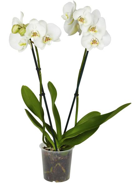 GARTENKRONE Schmetterlingsorchidee Phalaenopsis Hybrid, Blüte: mehrfarbig, im Topf