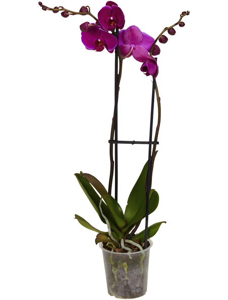 GARTENKRONE Schmetterlingsorchidee, Phalaenopsis hybrid, Blüte: violett, im Topf