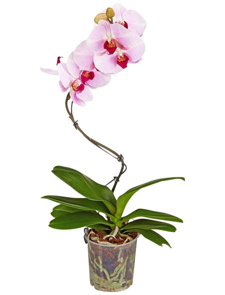 GARTENKRONE Schmetterlingsorchidee, Phalaenopsis Hybrid »Curvy«, Blüte: mehrfarbig, im Topf