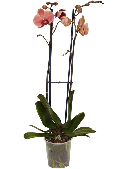 GARTENKRONE Schmetterlingsorchidee Phalaenopsis hybrid orange