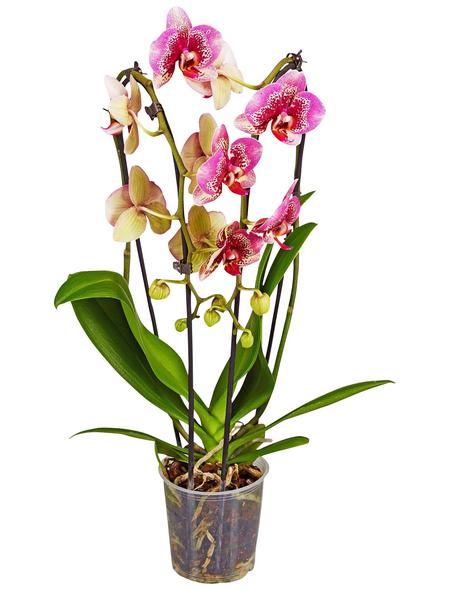 GARTENKRONE Schmetterlingsorchidee Phalaenopsis hybride