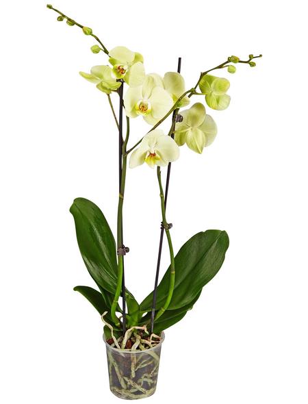 GARTENKRONE Schmetterlingsorchidee, Phalaenopsis hybride, Blüte: gelb, im Topf