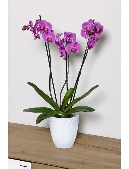 Schmetterlingsorchidee, Phalaenopsis hybride, Blüte: mehrfarbig