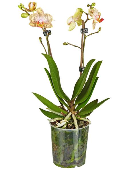 GARTENKRONE Schmetterlingsorchidee Phalaenopsis Hybride, Blüte: mehrfarbig, im Topf