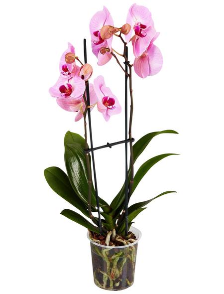 GARTENKRONE Schmetterlingsorchidee, Phalaenopsis Hybride, Blüte: rosa, im Topf