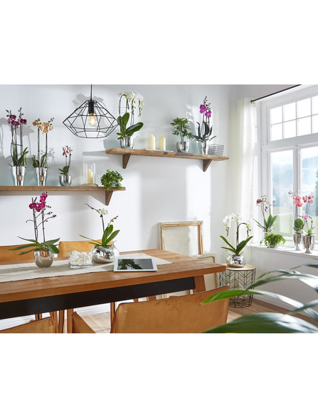 GARTENKRONE Schmetterlingsorchidee, Phalaenopsis Hybride, Blüte: rot, im Topf