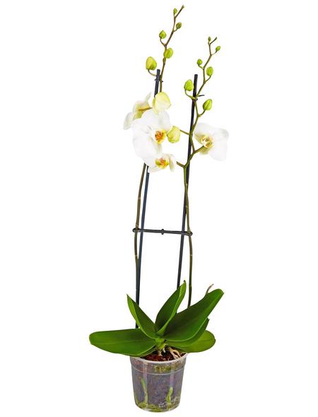 GARTENKRONE Schmetterlingsorchidee, Phalaenopsis hybride, Blüte: weiß, im Topf