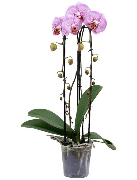 GARTENKRONE Schmetterlingsorchidee Phalaenopsis Hybride, mehrfarbig