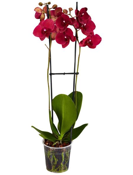 GARTENKRONE Schmetterlingsorchidee Phalaenopsis Hybride, rot