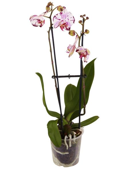 GARTENKRONE Schmetterlingsorchidee Phalaenopsis hybride zweifarbig