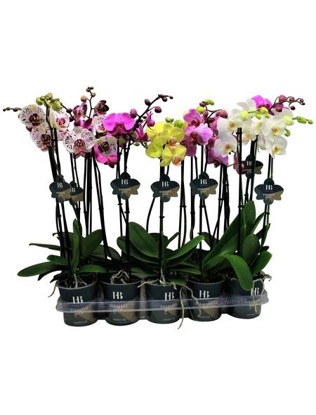 Schmetterlingsorchidee, Phalaenopsis Hybriden, Blüte: gemischt