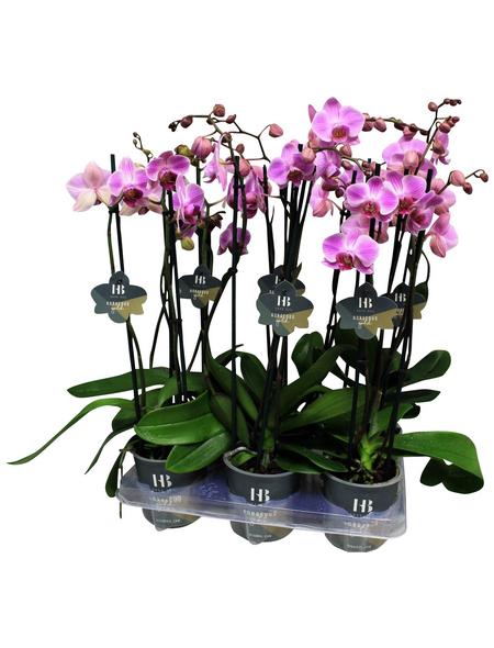 Schmetterlingsorchidee, Phalaenopsis Hybriden, Blüte: rosa
