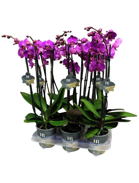 Schmetterlingsorchidee, Phalaenopsis Hybriden, Blüte: violett