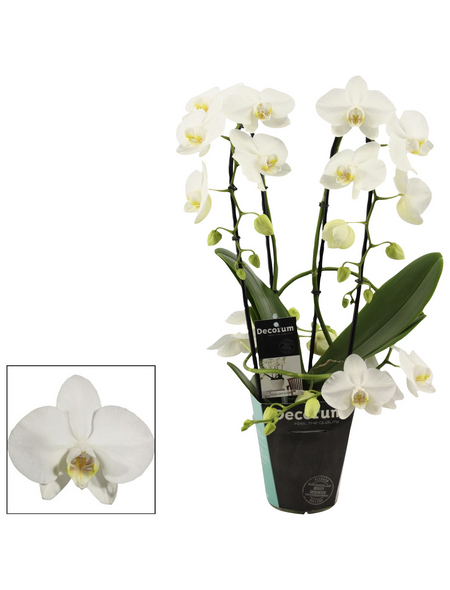 Schmetterlingsorchidee, Phalaenopsis Hybriden, Blüte: weiß
