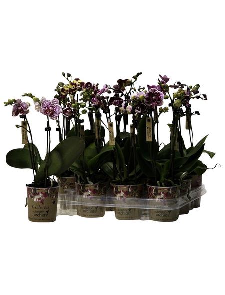 Schmetterlingsorchidee, Phalaenopsis Hybriden »Kolibri«, Blüte: gemischt