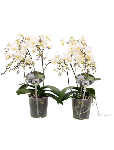 Schmetterlingsorchidee, Phalaenopsis Hybriden »Wild«, Blüte: weiß