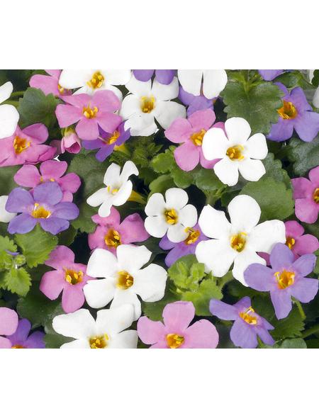 Schneeflockenblume, Bacopa diffusus, Blüte: mehrfarbig