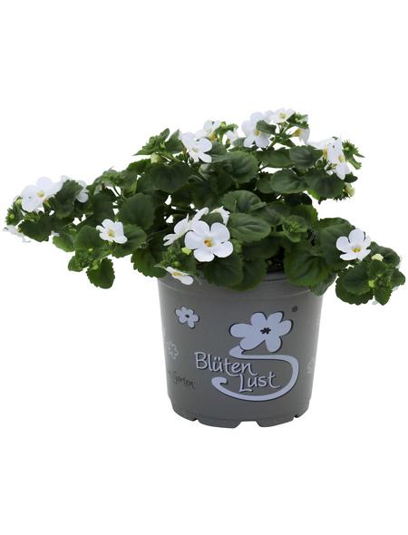Schneeflockenblume, Bacopa Sutera, Blüte: weiß/rosa/blau