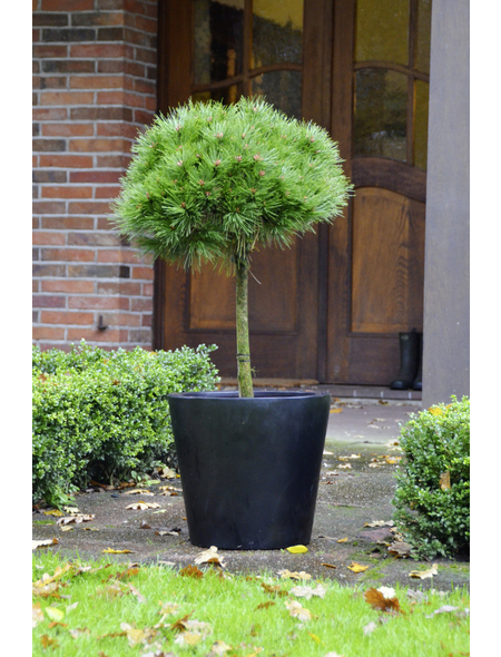 BOTANICO Schwarzkiefer nigra Pinus »Brepo«