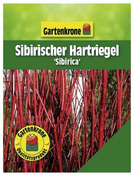 GARTENKRONE Sibirischer Hartriegel , Cornus alba »Sibirica«, weiß, winterhart