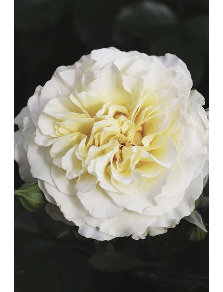 Solitärrose »Petticoat ®«, Rosa, Blüte: weiß